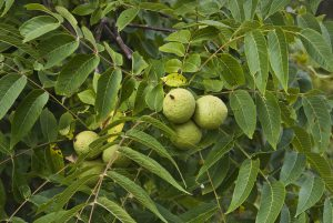 Black Walnuts, Jans nigra, Pickerington Pond Metro Park, Columbus, OH