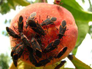 boxelder bugs on peaches
