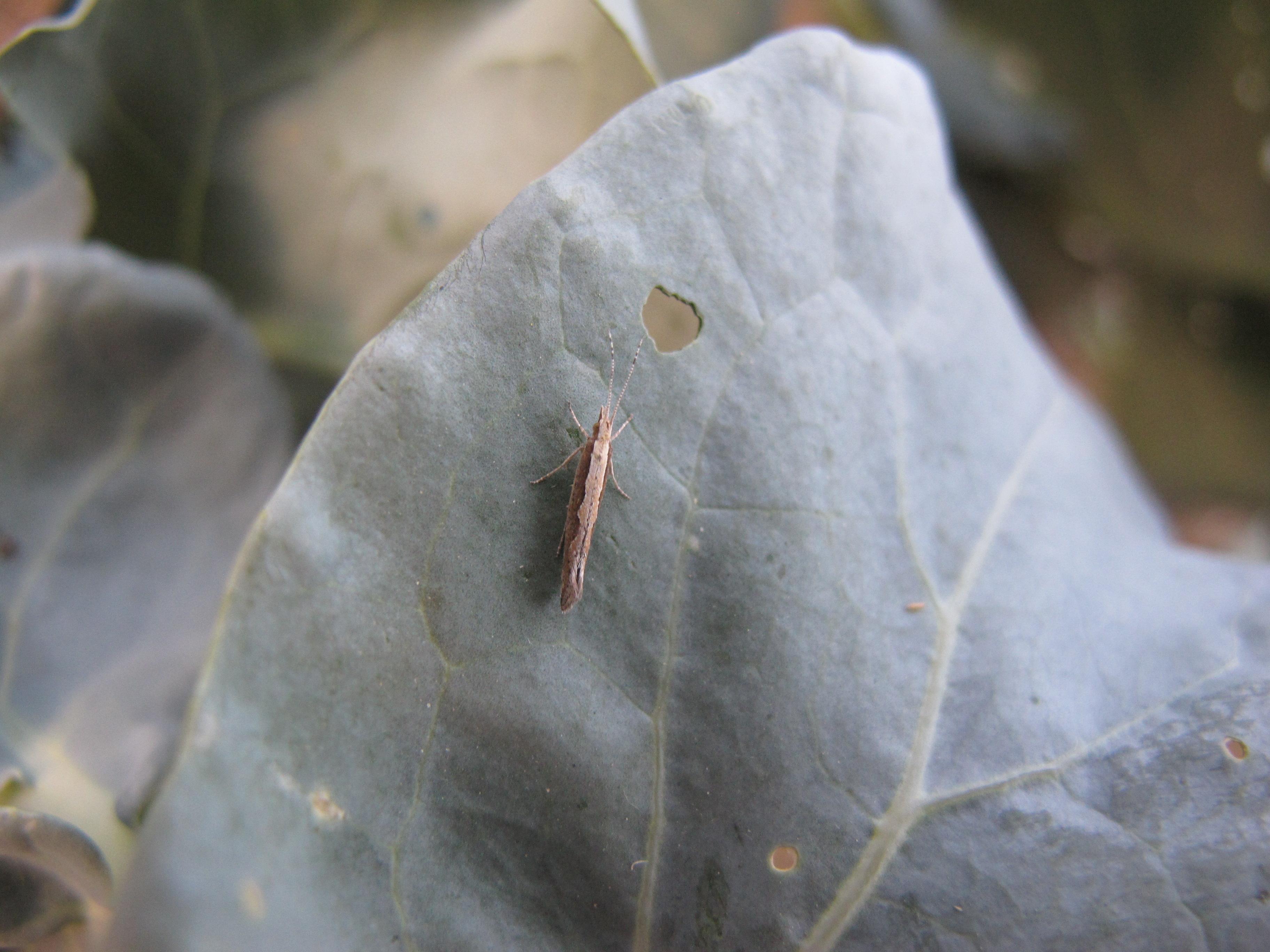 diamondback moth adult2