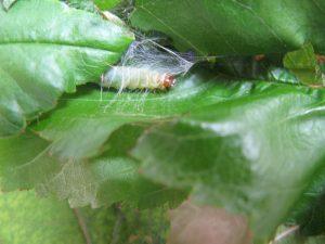 main - Obliquebanded Leafroller