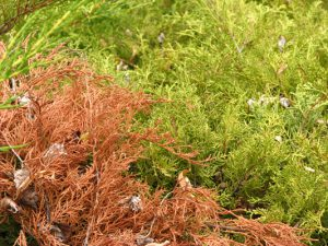 phytophthora dieback on juniper4