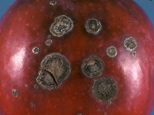 Apple scab is somewhat rare in Utah, causing black, circular, scabby lesions.