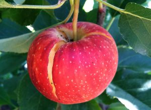 When Fuji and Gala apples expand rapidly toward harvest, the internal pressure may cause cracking at the stem end.