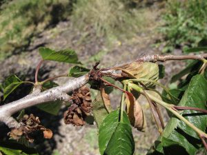 Bacterial canker on sweet cherries enters through wounds, such as winter injury, causing gumming and death of buds, twigs, and large limbs. Spray affected trees with copper in the next week or two.