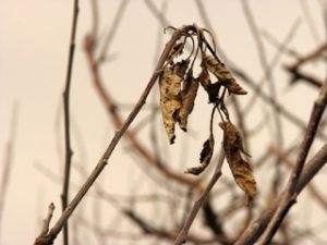 Fire blight-affected shoots are easy to spot in fall and winter because the leaves remain attached.