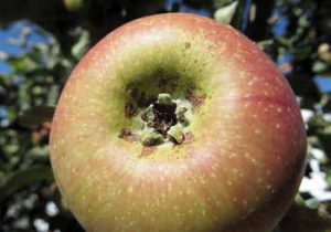 Light frost damage will show up as a ring of small lesions around the bottom of the apple.
