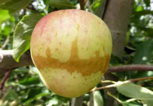 Frost injury often appears as a circular ring of russet around the apple.