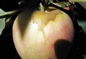 Some nutrient or pesticide sprays can puddle at the stem end, and cause russeting of the fruit skin.