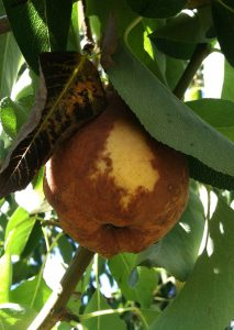 Fire blight infections can happen later in the season, especially through wounds on fruit, resulting in a soft rot.