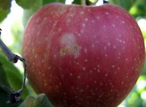 "Thrips are tiny insects that can lay eggs on the developing apple, causing a ""pansy"" shaped spot."