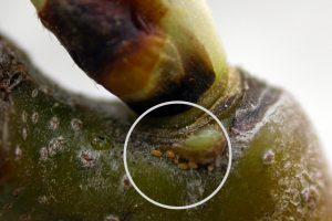 pear psylla eggs