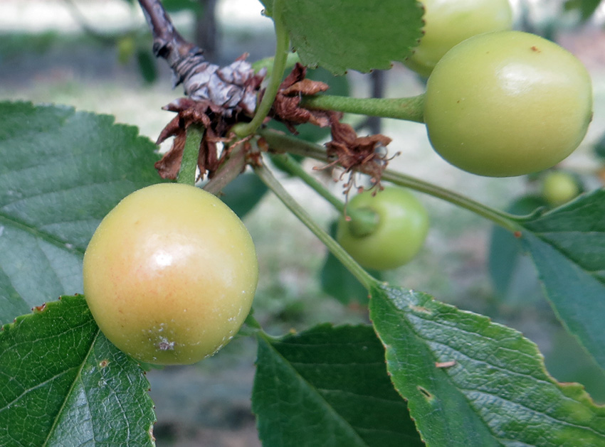 Western Cherry Fruit Fly, Peach Twig Borer – IPM Pest Advisories