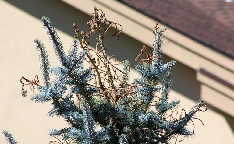 white-pine-weevil20-cranshaw