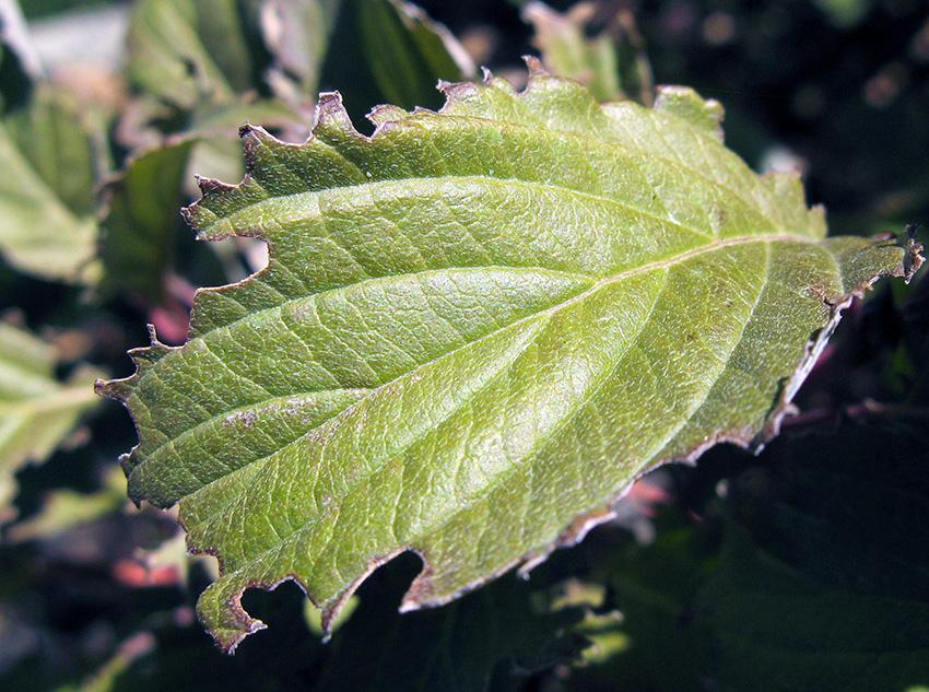 lilac weevil damage