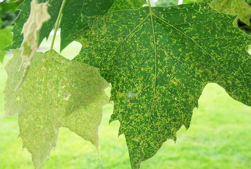 sycamore plant bug damage4