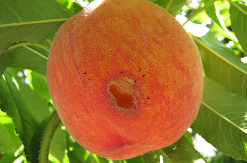 earwig-peach-07-20