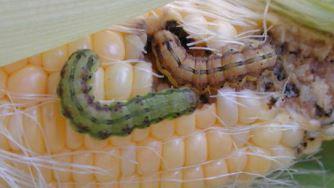 cew larvae