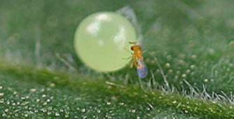 parasitic wasp cew