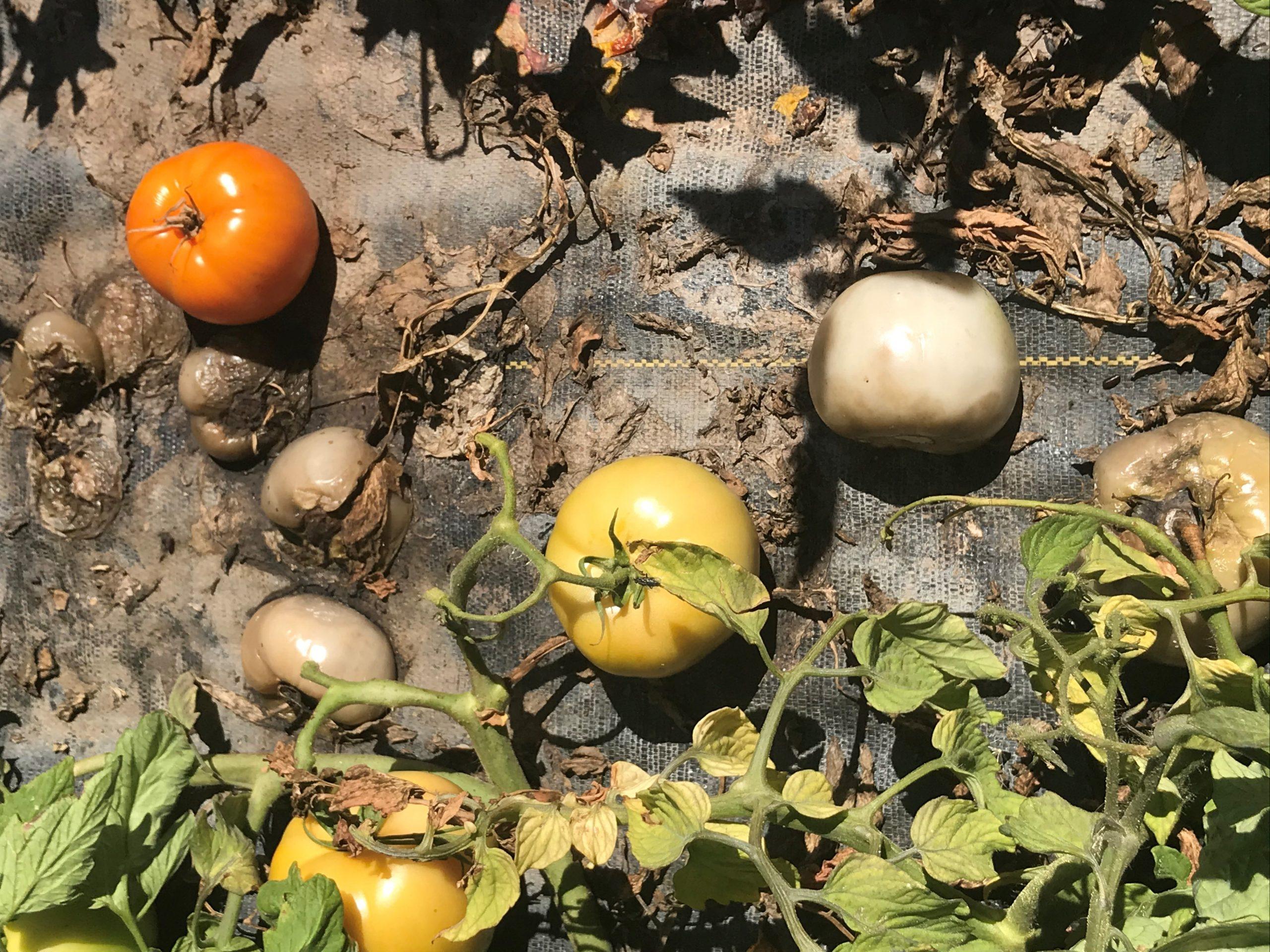 pythium tomato 3