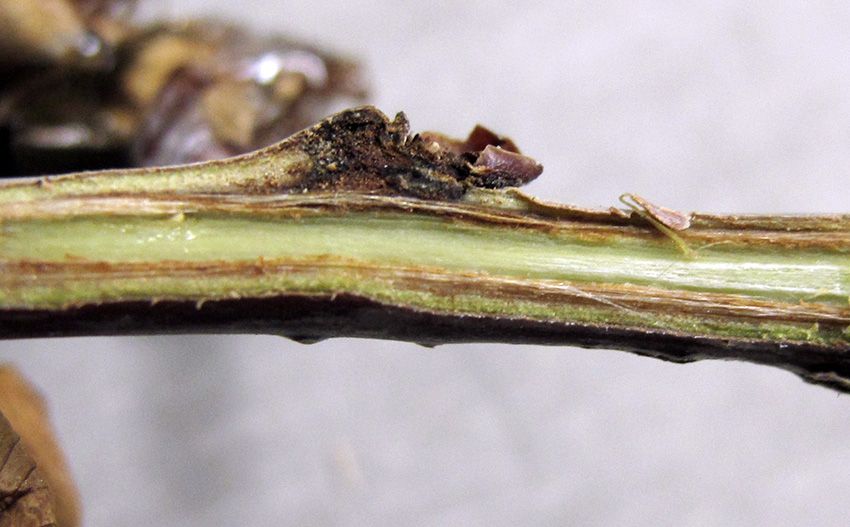 bacterial-canker