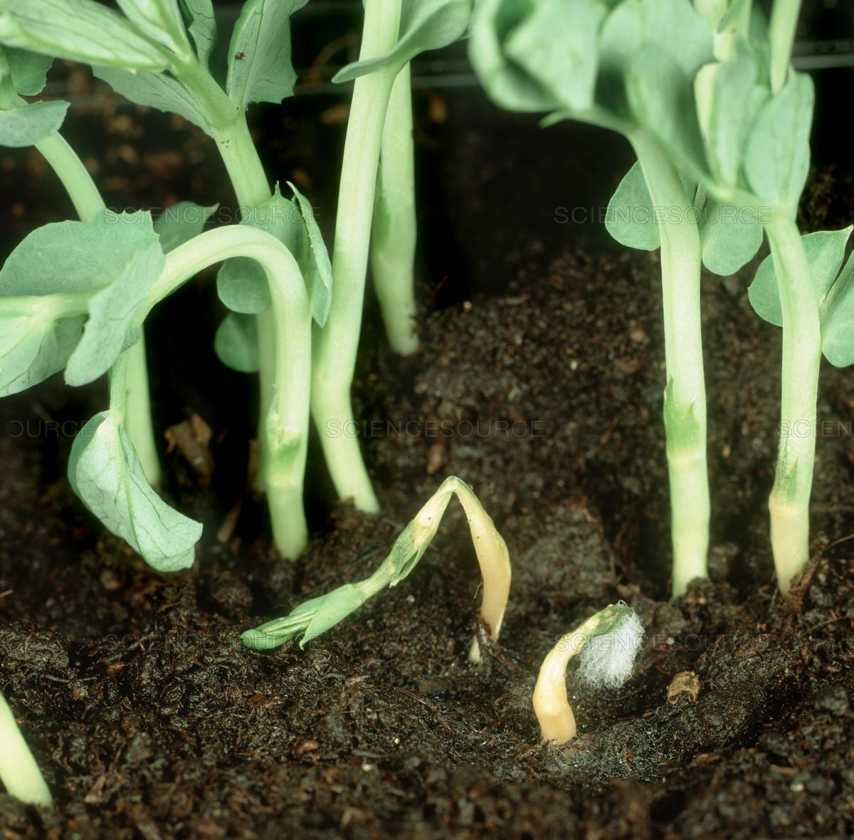 damping-off-peas
