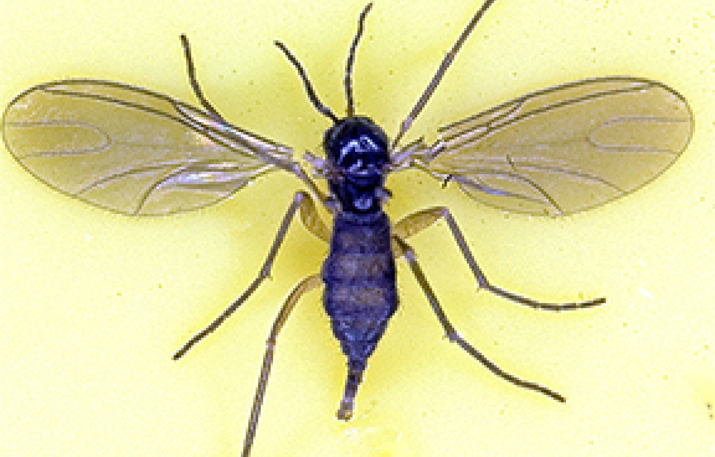 gungus-gnat