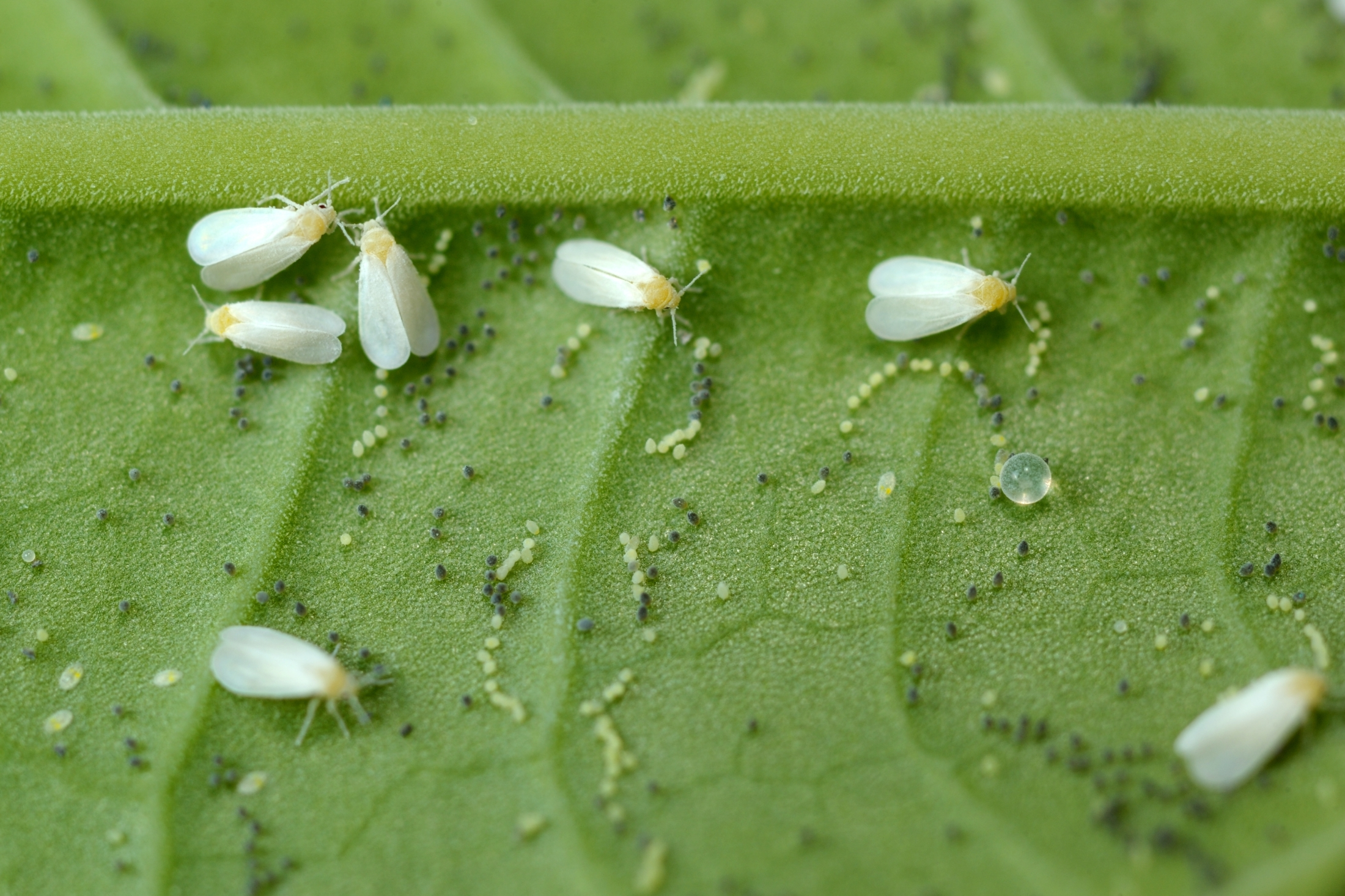 whitefly-group