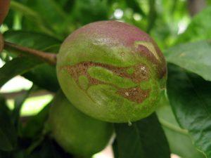 nectarine damage from thrips