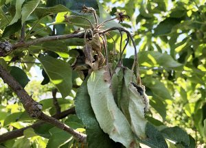 fire blight infection