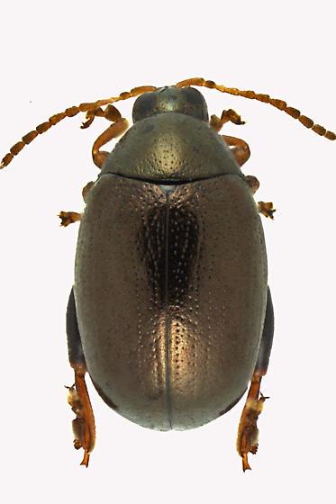 Chaetocnema denticulata