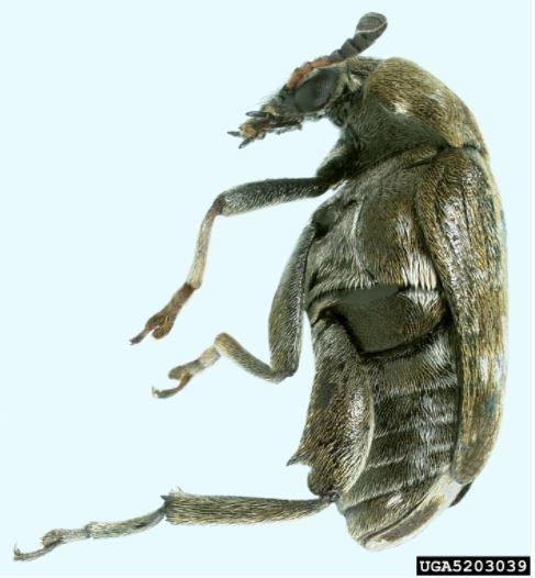 Pea Weevil 2