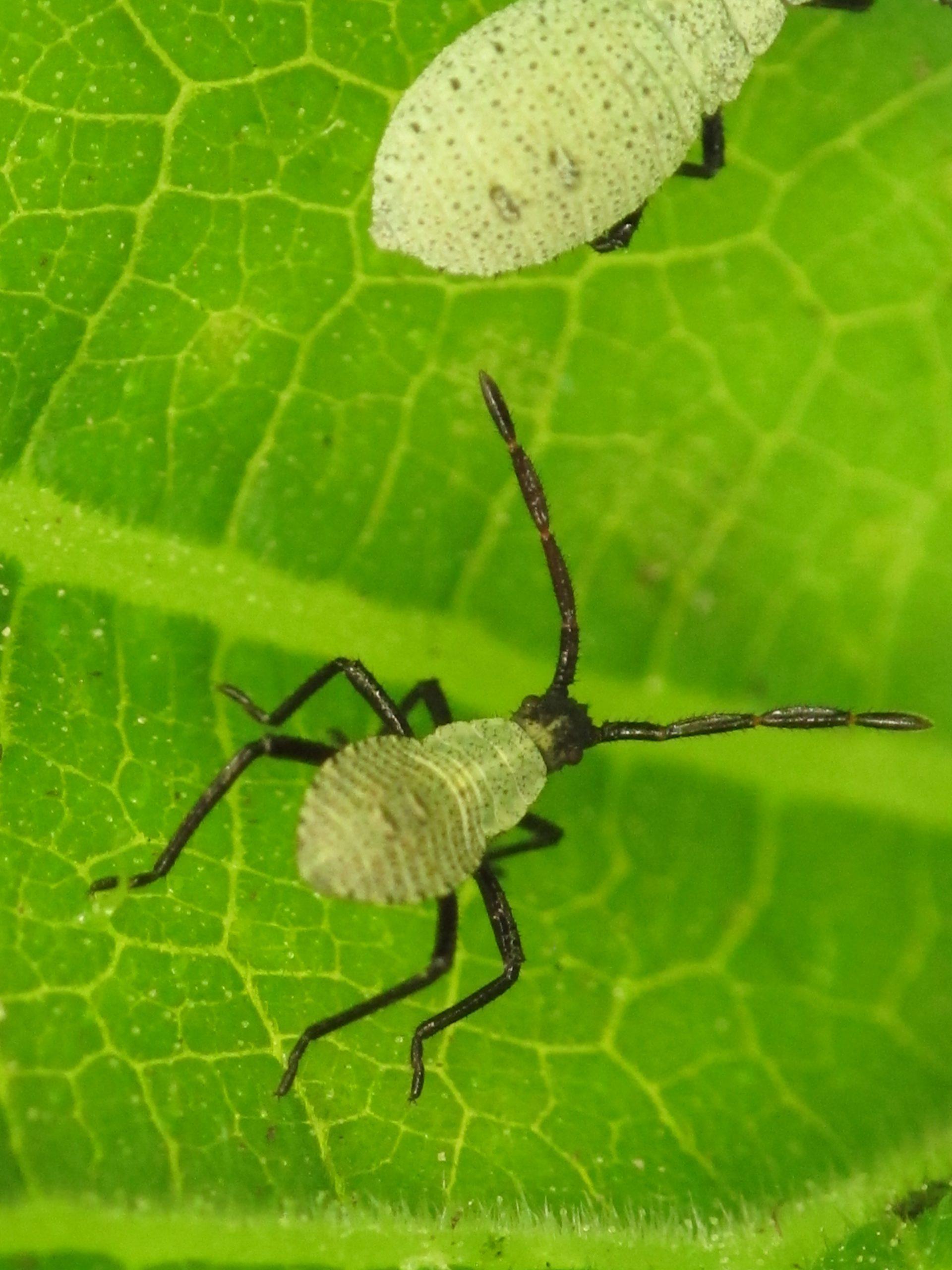 squash bug (152)