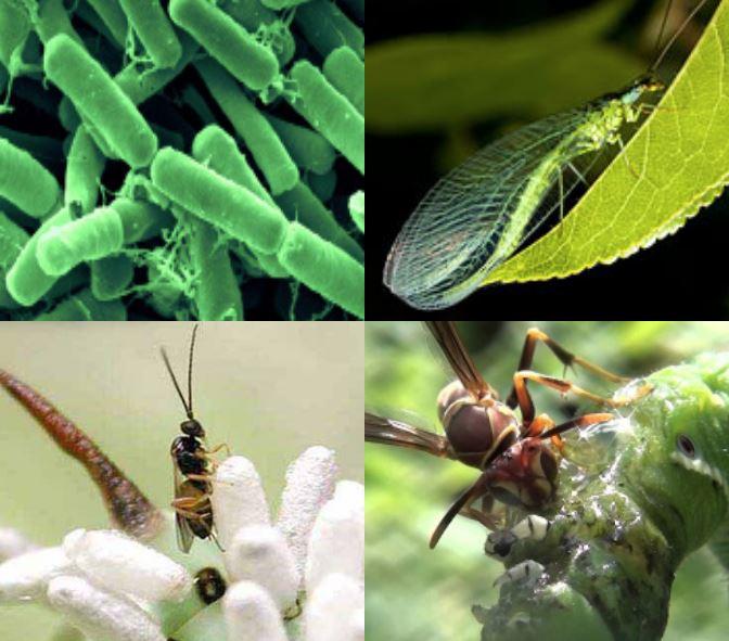 hornworm-beneficials