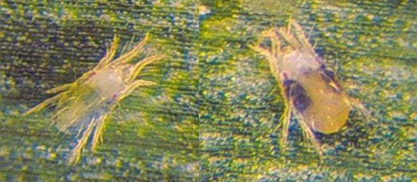 spider-mites-photograph